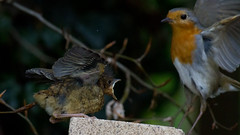 Robin_6123 (GrahamStevens) Tags: robin spring wildlife bedfordshire luton britishbirds grahamstevens ukbirds robinyoungfeeding