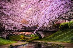Under the Cherry Blossoms (aotaro) Tags: longexposure nightphotography bridge flowers creek river sony le  sakura yokohama atnight  sal70300g laea4 ilce7m2  egawaseseragiryokudo