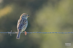 Gorrion moruno (Passer hispaniolensis. Temminck,1820) (EcoFoco juanma.coria) Tags: espaa naturaleza primavera fauna atardecer andaluca aves cdiz hembra alcaldelosgazules lajanda parquenaturallosalcornocales gorrinmorunopasserhispaniolensistemminck1820