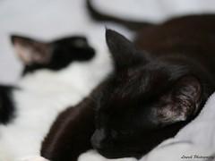 my cats (laurek.photography) Tags: white black monochrome cat chat noir bokeh blanc
