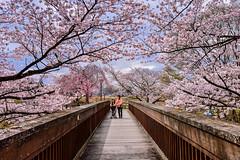 (DSC_2949) (nans0410(busy)) Tags: bridge flower japan cherry outdoors scenery kyoto blossom   sakura kansai   kameoka    kinkiarea