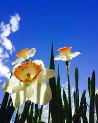 Daffodil day (f l a m i n g o) Tags: flower denver explore daffodil botanicgardens 19092