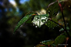 Leaves... (Mario Pellerito) Tags: leaves foglie canon natura sicily palermo rugiada gocce palerme sicilie 18135 carini 60d
