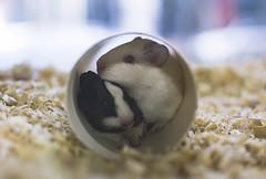 Pasando el fro... (Pablin79) Tags: pet argentina colors animal closeup rodent dof bokeh hamster petshop misiones posadas