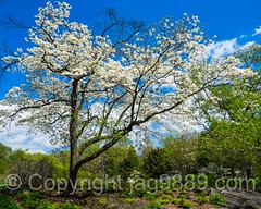 Cherry Tree, The New York Botanical Garden, Bronx, New York City (jag9889) Tags: nyc newyorkcity plants usa plant ny newyork flower color tree garden landscape spring unitedstates blossom outdoor bronx unitedstatesofamerica landmark bloom cherryblossom thebronx botanicalgarden nybg newyorkbotanicalgarden 2016 nationalhistoriclandmark bronxpark allamericacity jag9889 20160427