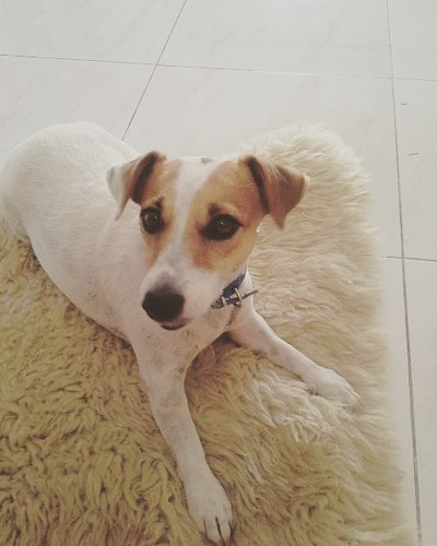 Bam bam chilling out at christmas #jackrussell #jackrussellterrier #thai #thailand #huahin #hua_hin #holiday #christmas
