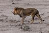 Angola-Löwe (Panthera leo bleyenberghi) - Etosha-Nationalpark, Namibia (Nov. 2015) (anschieber | niadahoam.de) Tags: namibia etosha löwen 2015 etoshanationalpark afrikaafrica southwestafricanlion löwepantheraleo 201511 katangalöwe namibia2015 20151112 angolalöwepantheraleobleyenberghi etoshalöwen