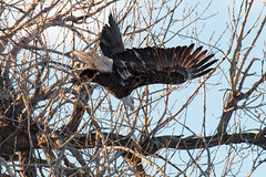 January 14, 2016 - A Bald Eagle takes flight in Eastlake. (Tony's Takes)
