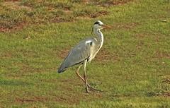 Airone cenerino - grey Heron (ermenegildore) Tags: heron nature birds natura uccelli airone