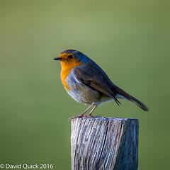 (DavidQuick) Tags: england robin reserve hampshire marsh wildlifetrust farlington copyrightdavidquick2016