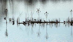 Reflections & silhouettes, North Cave Wetlands (robin denton) Tags: nature water birds reflections wildlife yorkshire silhouettes wetlands contrejour waterscape wildlifetrust yorkshirewildlifetrust lapwings ywt northcavewetlands