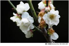 - Plum flower (AndrewOre ()) Tags: winter flower     plumflower