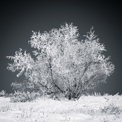 Tree On The Hill 1 (asphotographics) Tags: square nature aspectratio frost highcontrast 2016 snow plant circularpolarizer tree alberta sky bluesky vignette decade hoarfrost ice monthofyear postprocessing filter polarizer landscape winter calgary monochrome splittone asphotographics time outdoor cooltone lightsource toning cold bowmontpark naturallight january country duotone light fieldofview effects timeofday season water canada daytime blackandwhite dynamicrange