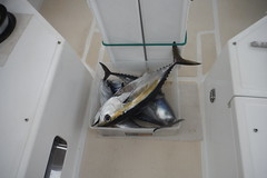 4 tuna St. Martin to Barbuda including Black Fin (hedonism1) Tags: mackie hedonism svhedonism