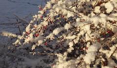 Röda bär i snön (Ditte46) Tags: winter snow vinter explore sverige snö explorewinnersoftheworld ditte46