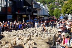 20160206-11-Sea of sheep in Queenstown (Roger T Wong) Tags: city travel newzealand summer people sheep crowd merino nz southisland otago queenstown 2016 sony2470 rogertwong sel2470z sonyfe2470mmf4zaosscarlzeissvariotessart sonya7ii sonyilce7m2 sonyalpha7ii runningofthewools