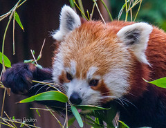 Pink Tongued Red Panda (JKmedia) Tags: animal zoo tail bamboo redpanda climber captivity stripy 2015 blackpoolzoo ailurusfulgensfulgens boultonphotography