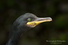 Shag (Tom Langlands Photography) Tags: bird nature birds animals wildlife shag shags isleofmay natureandwildlife