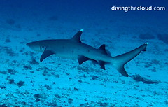 Whitetip reef shark - Tiburn de arrecife de punta blanca (divingthecloud) Tags: sea fish pez shark mar agua diving maldives tiburon buceo maldivas whitetipreefshark fotosub bajoelagua tiburonpuntablanca