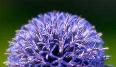 blue moon rising (JimfromCanada) Tags: blue ontario canada flower closeup ball globe nikon dof thistle sphere spike globethistle d800 105mm jimsmith jimfromcanada