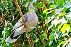 Eastern Turtle Dove :  (Dakiny) Tags: winter bird nature animal japan yokohama february kanagawa 2016