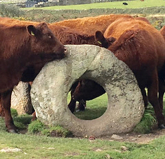 The scratching post (Marion in Cornwall) Tags: cornwall cattle granite scratchingpost menantol