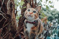 (Tridentz | ) Tags: cat hongkong eyes bokeh 28mm meow gr lovely  ricoh f28    2016 grii