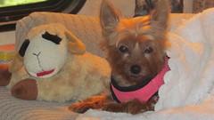 Niki 11-5-15 (roilynn) Tags: dog yorkie yorkshireterrier niki lambchop