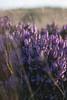 Purple heather (Melvinia_) Tags: uk flowers light nature southwales wales fleurs 50mm soft purple unitedkingdom bokeh lumière heather pastel violet breconbeacons doux royaumeuni paysdegalles bruyère canoneos450d digitalrebelxsi