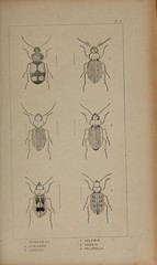 n112_w1150 (BioDivLibrary) Tags: beetles greatbritain californiaacademyofsciences bhl:page=39306908 dc:identifier=httpbiodiversitylibraryorgpage39306908 bugs insect coleoptera taxonomy:order=coleoptera colorourcollections arthropoda bhlarthropod artist:name=wspry taxonomy:binomial=panagaeuscruxmajor taxonomy:binomial=loricerapilicornis taxonomy:binomial=leistusspinibarbis taxonomy:binomial=helobiabrevicollis taxonomy:binomial=nebriacomplanata taxonomy:binomial=pelophilaborealis