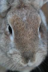 IMG_3431 (Gioser_Chivas) Tags: rabbit bunny animal conejo mascota mamifero vertebrado gioserchivas