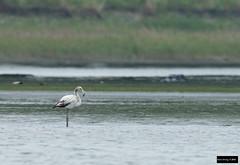 Greater Flamingo (Phoenicopterus roseus) (Dave 2x) Tags: flamingo taiwan greater ilan yilan greaterflamingo phoenicopterusroseus phoenicopterus roseus leastconcern