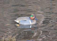 Green-winged Teal (Neal D) Tags: bird duck bc surrey crescentbeach greenwingedteal anascrecca blackiespit