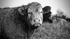 Bunahowna Beast (Fiona MacGinty) Tags: cow cattle bullock bull longford ruralireland abbeylara bunahownawalkway