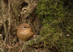 Wren-6602 (Kulama) Tags: winter nature birds woods westsussex wildlife wren warnham