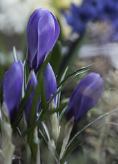 First signs of spring... (christopherboersma) Tags: vancouver zeiss evening spring purple crocus 100mm f2 planter makro 2016