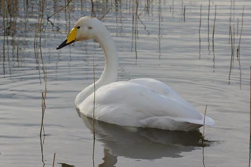 Cygne chanteur - whooper swan