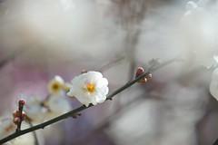 /Prunus mume (nobuflickr) Tags: flower nature japan botanical kyoto   japaneseapricot the garden  prunusmume   20160211dsc01065