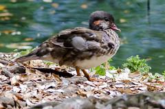 Mandarin Duck (Aix galericulata) Juvenile (Brian Carruthers-Dublin-Eire) Tags: bird duck mandarin mandarinduck juvenile aix aixgalericulata galericulata anatidae anseriformes mandarinente mandarijneend canardmandarin patomandarn anatramandarina