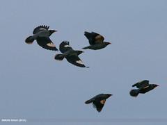Bank Myna (Acridotheres ginginianus) (gilgit2) Tags: pakistan birds fauna canon geotagged wings wildlife feathers sigma tags location species punjab category avifauna acridotheresginginianus kallarkahar sigma150500mmf563apodgoshsm imranshah bankmynaacridotheresginginianus canoneos70d kallarkhar gilgit2