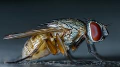 Tiny Fly... (chandra.nitin) Tags: macro nature animal insect fly diptera flydayfriday