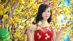 HAI_1632 (BOSS TONY) Tags: people flower xuan mai dao yallow 2016 xuân maidao phoongdo