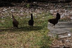 Canon201780 (godrudy6661) Tags: chickens chicken neworleans ninthward wildchicken feralchicken