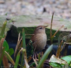 wren (3) (Simon Dell Photography) Tags: city wild brown cute bird simon nature up animal garden photography town flying wildlife sheffield tail small dell tiny wren