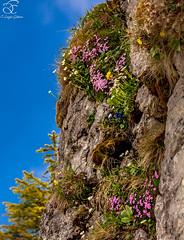 Life Finds its Way (BeNowMeHere) Tags: trip travel flowers mountains alps nature rock switzerland spring suisse swiss wildflowers alpineflowers rochersdenaye 500px ifttt lifefindsitsway benowmehere