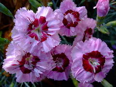 Dianthus (yewchan) Tags: flowers flower nature colors beautiful beauty closeup garden flora colours gardening vibrant blossoms dianthus blooms lovely sweetwilliams