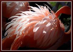 SafariWest_8274 (bjarne.winkler) Tags: santa ca red west rosa flamingos safari