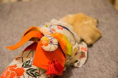 IMG_1954 (yukichinoko) Tags: dog dachshund yukata 犬 kinako 浴衣 ダックスフント ダックスフンド きなこ