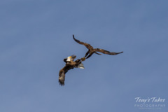 Bald Eagles battle for breakfast - Sequence - 30 of 42