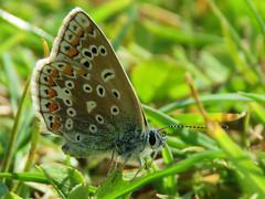 Common Blue (Polyommatus icarus) Butterfly (Brian Carruthers-Dublin-Eire) Tags: blue butterfly lepidoptera icarus common animalia arthropoda commonblue polyommatusicarus layingeggs insecta lycaenidae ovipositing commonbluebutterfly egglaying polyommatus polyommatini picarus